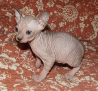 Registered Sphynx Kittens Available For Sale22111