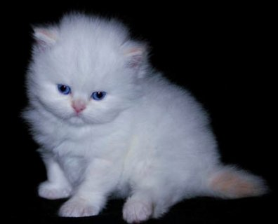 صور Cute White Persian female kitten for adoption332 1