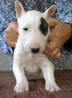 Bull terrier puppies Available 33