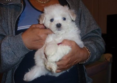 Cute male and female Snow white Maltese puppies to