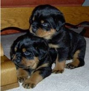 ,,,....Sweet Rottweiler Puppies,,,....,,....//....