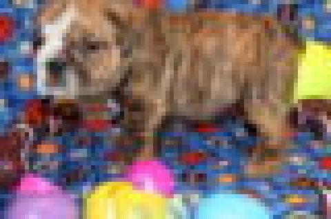 ,..,.Male and Female English Bulldog Puppies,.,,.
