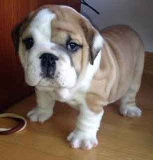 صور ,..,.Male and Female English Bulldog Puppies,.,,. 2