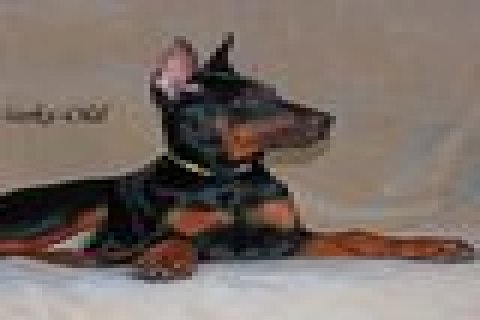 Doberman Pinschers Puppies For Sale