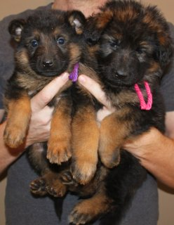 2 German Shepherd puppies for good family