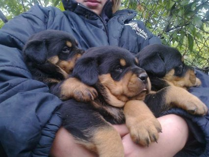صور 2 Gorgeous Rottweiler Puppies For Rehoming1 1