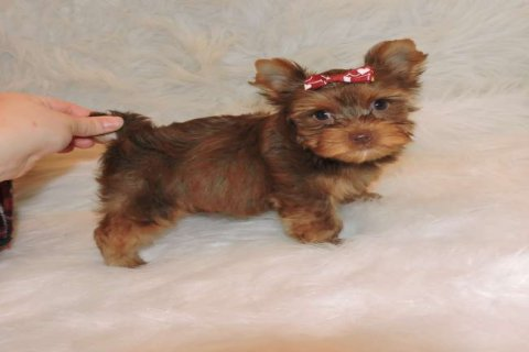 Chocolate Teacup Yorkie Puppies Available For New