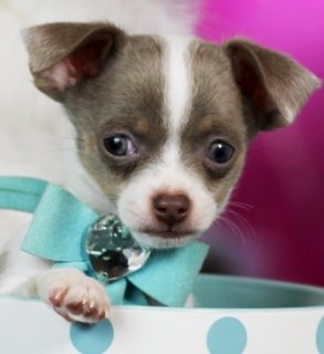 Home trained chihuahua puppies ready for re-homin
