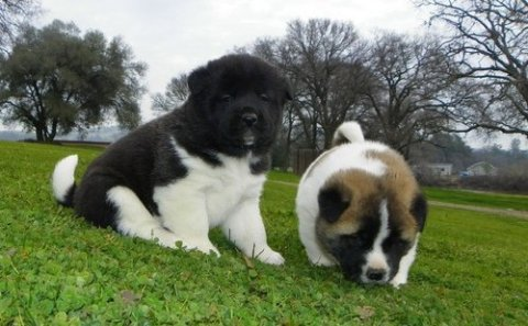 Healthy Akita Puppies For Adoption
