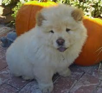 Adorable Chow Chow pups