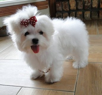 Tiny Teacup Maltese puppies for adoption