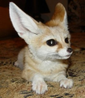 صور 12 weeks old fennec foxes for sale 1