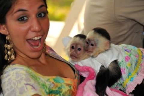 صور Capuchin Monkeys for your home 1