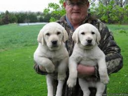 male and female Labrador puppies for your loving