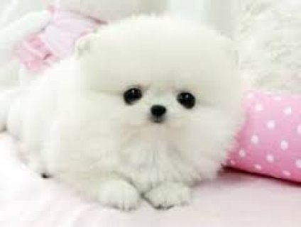 Gorgeous Male and Female Teacup Pomeranian Puppie