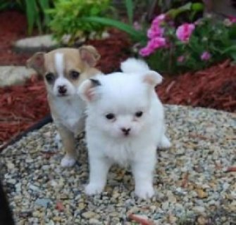 male and female chihuahua puppies for adoption