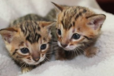 Adorable Bengal kittens