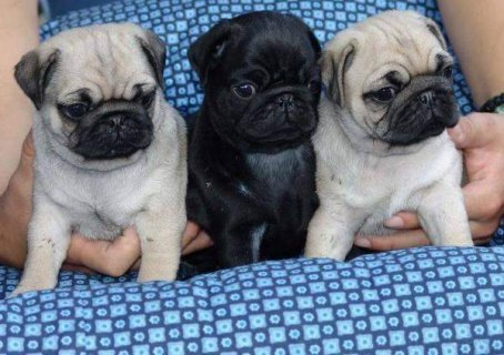 2 Both Black And Grey Pug Puppies Availabe For r
