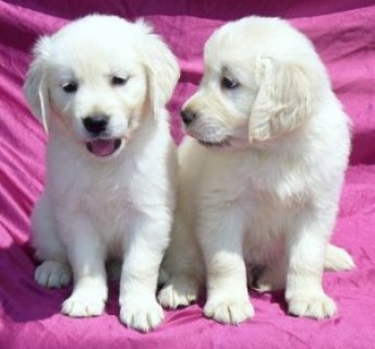 2 Playful Golden retriever Puppies For Rehomingq