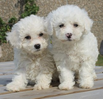 Bichon Frise puppies for free For Rehoming22