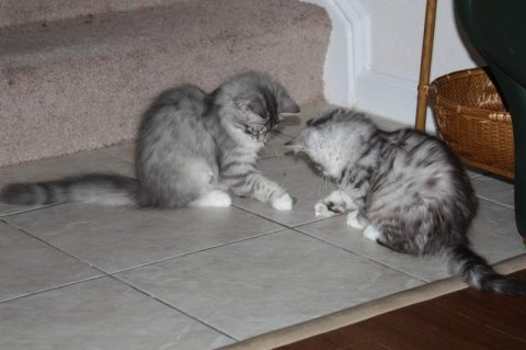 Wow Two Siberian Kittens ready to go For Good Home