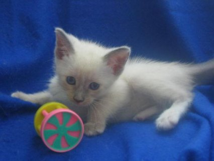 صور Beautiful litter of Siamese Kittens for sale Six b 1