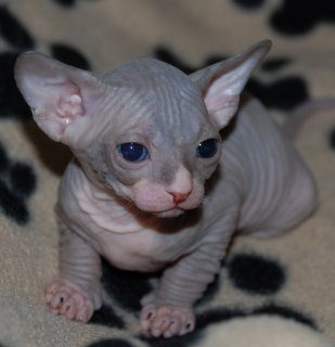 Wow Registered Sphynx Kittens Available For Sale