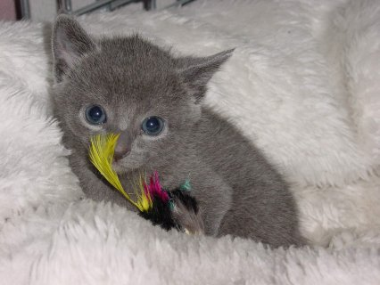 Well Trained and Hand Raised Russian Blue Kitten f