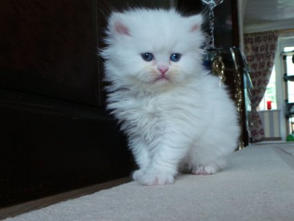 2 Cute White Male and Female Persian kitten for ad