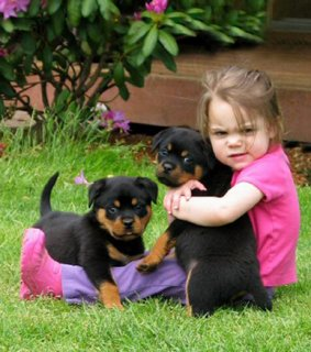 Black and Brown Rottweilers for Adoption