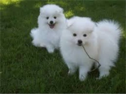 male and female American Eskimo Puppies For Adopti