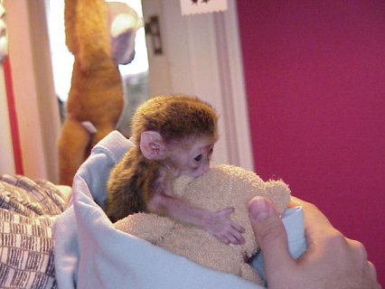 2 Outstanding Capuchin Monkeys $500.00  They are 4