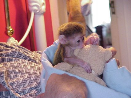 Wonderful Lovely Capuchin monkey for adoption   We