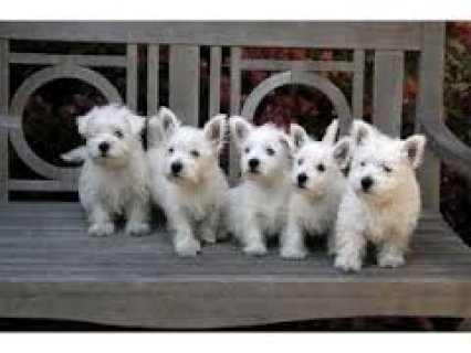 Pure Breed Male/Female West Highland White Terrier