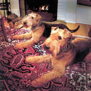 صور Airedale Terrier puppies ready to go.	 1