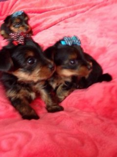 2 baby Yorkie puppies for free adoption.