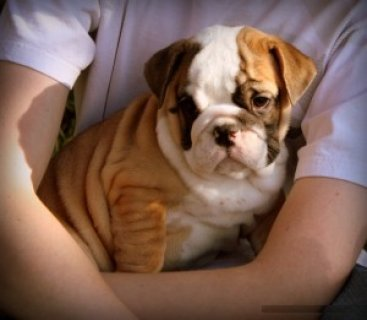 Affectionate English Bulldog Puppies for adoption