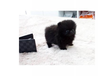 White And Black And Grey Teacup Pomeranian Puppies