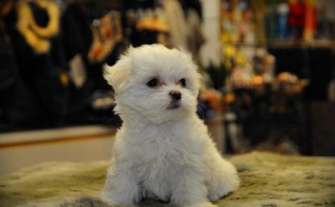 Must See Male And Female Maltese Puppies For Rehoi