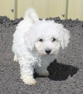 Wow Wow Bichon Frise puppies For Rehoming
