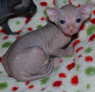 Cutest Registered Sphynx Kittens Available For Sal