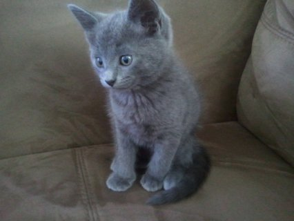 Home Trained and Hand Raised Russian Blue Kitten f