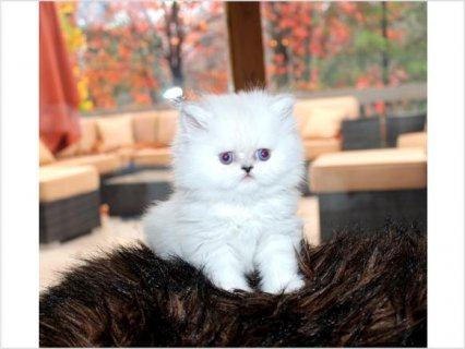 White Color Male and Female Persian kitten for ado
