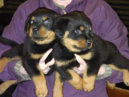 صور Cute Gorgeous Rottweiler Puppies For Rehoming 1