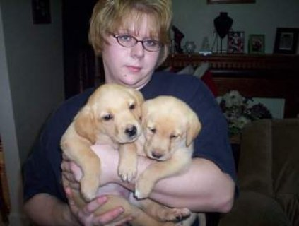 Cool Male and Female Labrador puppies For Rehoming