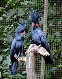 Talking Pair of Umbrella Cockatoo for adoption