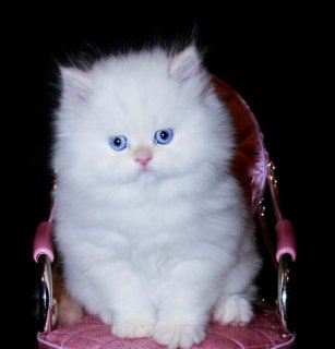 three Cute White Persian female kittens for adopti