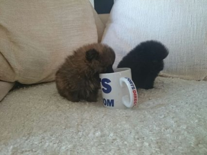Grey Male and Black Female Tiny Teacup Pomeranian