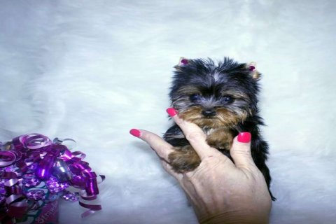 Two Outstanding And Adorable Home Trained Teacup Y