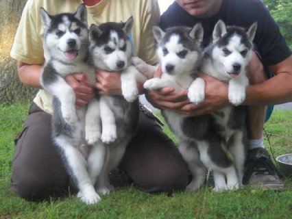 Blue Eyes Siberian Husky Puppies with Blue Eyes F